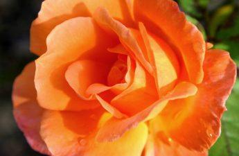 uzplaucis zieds